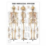 Skeletal System Anatomical Chart