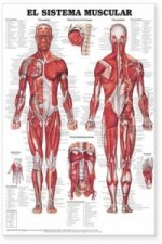 Muscular System Anatomical Chart in Spanish (El Sistema Muscular)