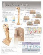 Bone & Bone Growth Laminated Poster