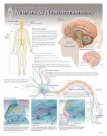 Neurons & Neurotransmitters