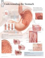 Understanding the Stomach