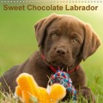 Sweet Chocolate Labrador 2018