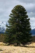 Araucaria Araucana Tree in Argentina Journal: 150 Page Lined Notebook/Diary