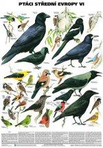 Plakát - Ptáci střední Evropy 6. díl (Pěvci 2)