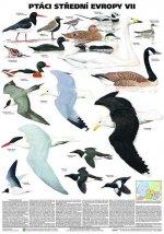 Plakát - Ptáci střední Evropy 7. díl
