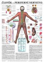 Plakát - Člověk - Perifernií nervstvo
