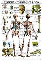 Plakát - Člověk - Opěrná soustava