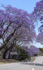 Notebook: jacaranda trees Queensland Australia Australian spring
